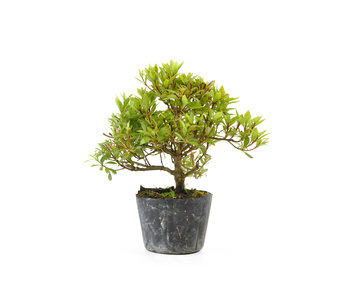Japanese azalea (Hi no Maru), 12,4 cm, ± 8 years old