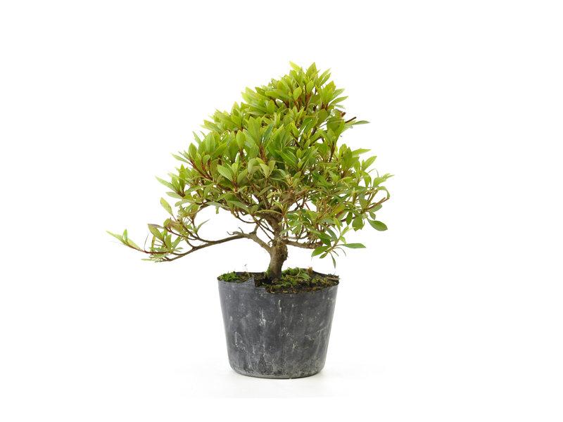 Japanse azalea (Hi no Maru), 12,4 cm, ± 8 jaar oud