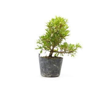 Japanese azalea (Hi no Maru), 12,6 cm, ± 8 years old