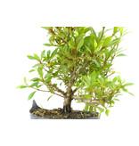 Japanse azalea (Hi no Maru), 12,6 cm, ± 8 jaar oud