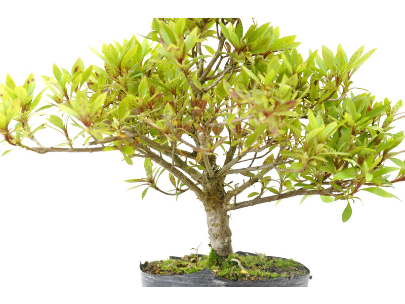 Japanse azalea (Hi no Maru), 12,7 cm, ± 8 jaar oud