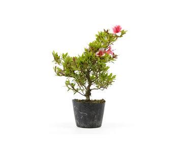 Japanese azalea (Hi no Maru), 12,8 cm, ± 8 years old