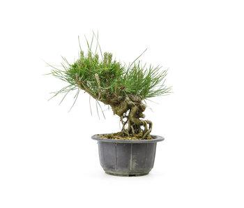 Japanese black pine, 11,5 cm, ± 18 years old