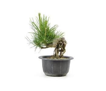 Japanese black pine, 11,7 cm, ± 18 years old