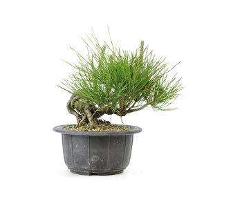 Japanese black pine, 11,8 cm, ± 18 years old