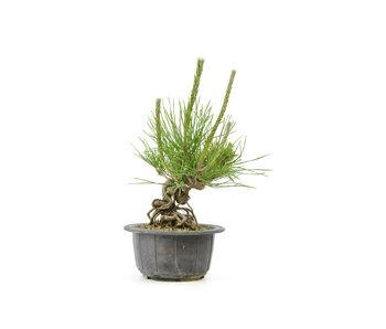 Japanese black pine, 11,9 cm, ± 18 years old