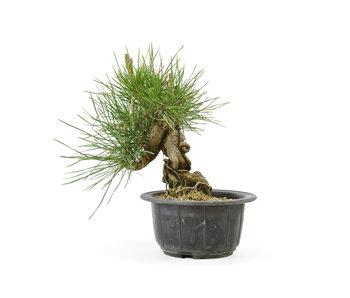 Japanese black pine, 12 cm, ± 18 years old