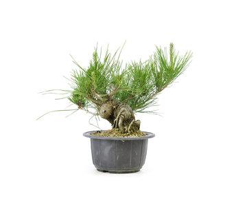 Japanese black pine, 12,1 cm, ± 18 years old