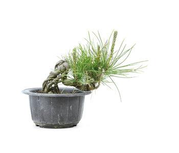 Japanese black pine, 12,2 cm, ± 18 years old