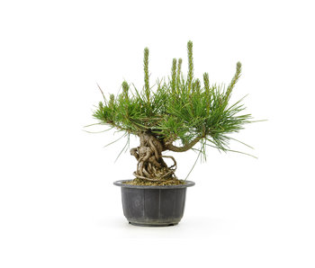 Japanese black pine, 12,3 cm, ± 18 years old