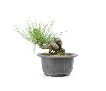 Japanese black pine, 12,4 cm, ± 18 years old