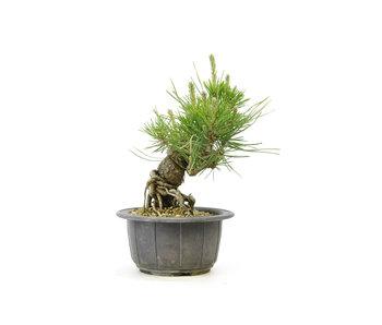 Japanese black pine, 12,5 cm, ± 18 years old