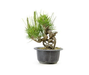 Japanese black pine, 12,6 cm, ± 18 years old