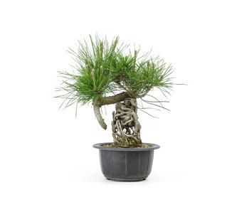 Japanese black pine, 12,7 cm, ± 18 years old