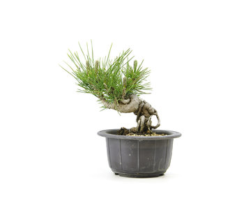 Japanese black pine, 12,8 cm, ± 18 years old
