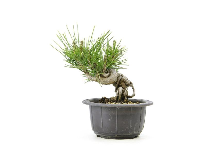 Japanse zwarte den, 12,8 cm, ± 18 jaar oud