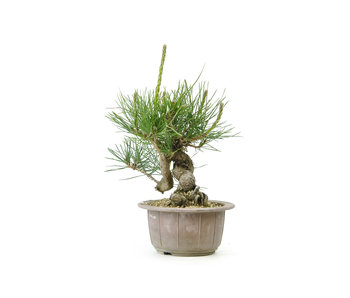 Japanese black pine, 13 cm, ± 18 years old