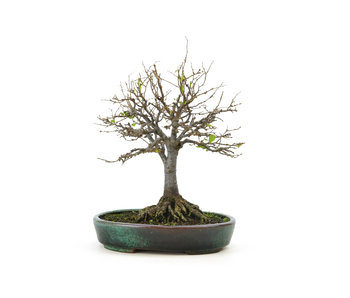 Japanese greybark elm, 19 cm, ± 25 years old