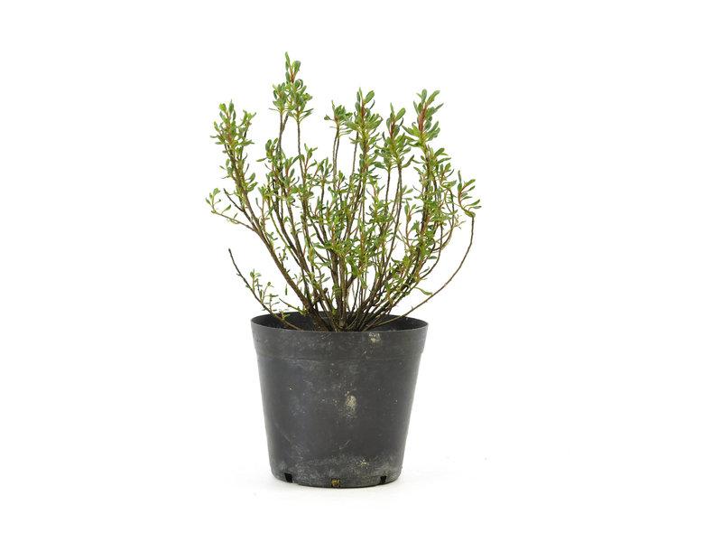 Japanse azalea, 10 cm, ± 5 jaar oud