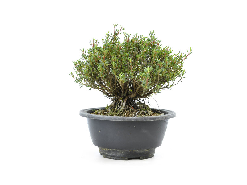 Japanse azalea, 12 cm, ± 10 jaar oud