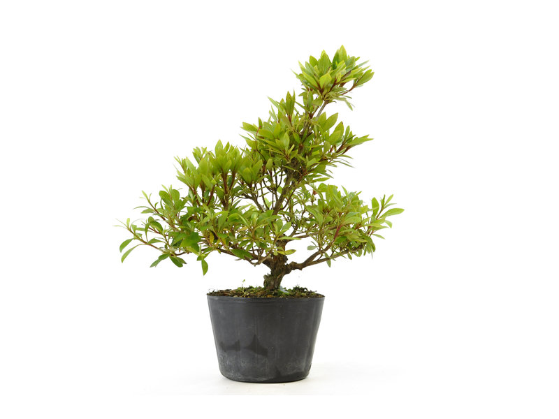 Japanse azalea (Hi no Maru), 19 cm, ± 8 jaar oud