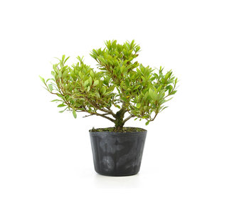 Japanese azalea (Hi no Maru), 13,1 cm, ± 8 years old