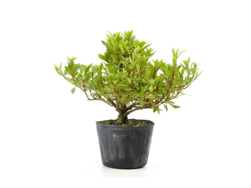 Japanse azalea (Hi no Maru), 13,1 cm, ± 8 jaar oud
