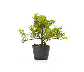 Japanese azalea (Hi no Maru), 13,2 cm, ± 8 years old
