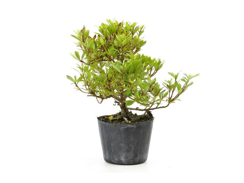 Japanse azalea (Hi no Maru), 13,2 cm, ± 8 jaar oud