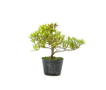 Japanse azalea (Hi no Maru), 13,3 cm, ± 8 jaar oud