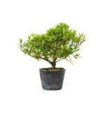 Japanse azalea (Hi no Maru), 13,4 cm, ± 8 jaar oud