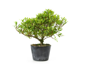 Japanese azalea (Hi no Maru), 13,4 cm, ± 8 years old