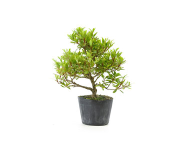Japanese azalea (Hi no Maru), 13,5 cm, ± 8 years old