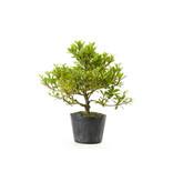 Japanse azalea (Hi no Maru), 13,5 cm, ± 8 jaar oud