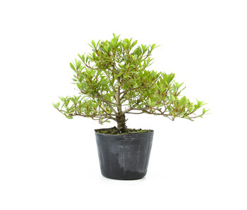 Japanese azalea (Hi no Maru), 13,6 cm, ± 8 years old