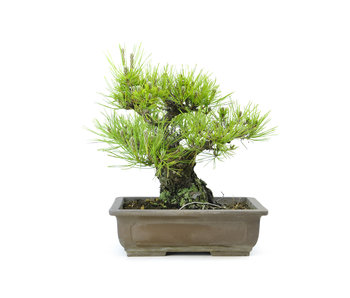 Japanese black pine, 24 cm, ± 30 years old