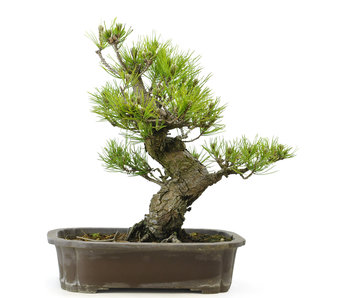 Japanese black pine, 33 cm, ± 30 years old