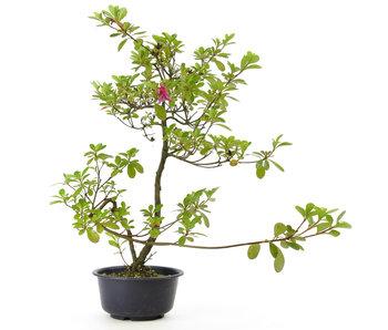 Azalea japonesa, 37 cm, ± 8 años.