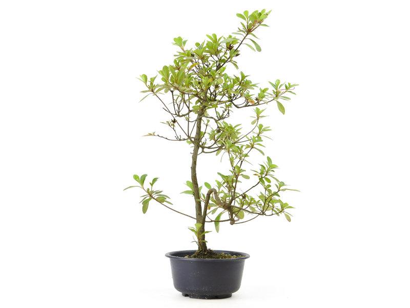 Japanse azalea, 37 cm, ± 8 jaar oud