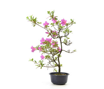 Japanese azalea, 39 cm, ± 8 years old