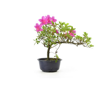 Japanese azalea, 23 cm, ± 8 years old