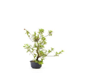 Japanse azalea, 29 cm, ± 8 jaar oud