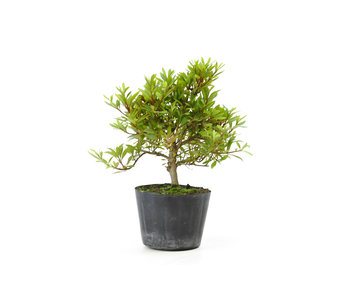 Japanse azalea (Hi no Maru), 12,9 cm, ± 8 jaar oud