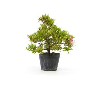 Azalea japonesa (Hola no Maru), 13,5 cm, ± 8 años