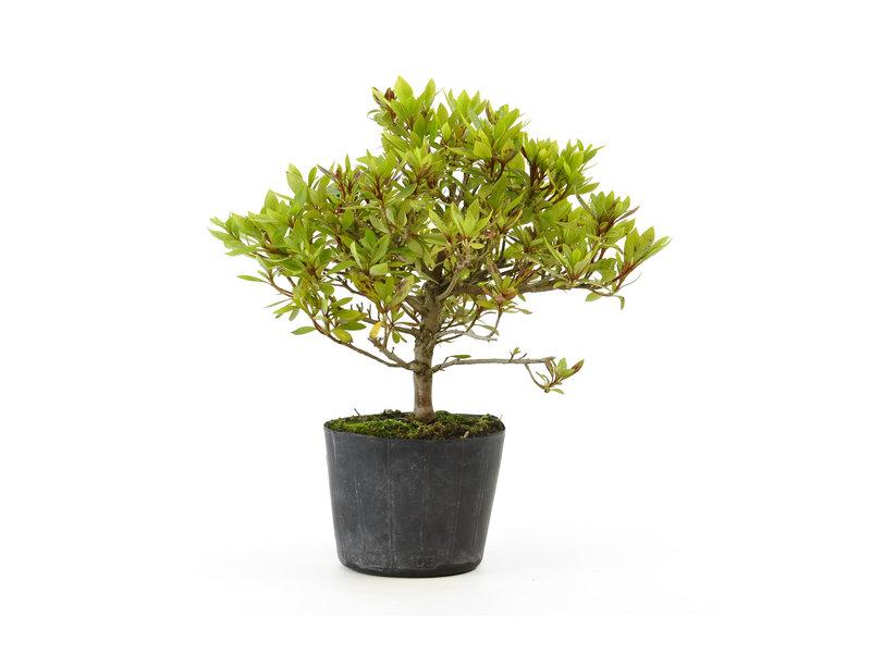 Japanse azalea (Hi no Maru), 13,6 cm, ± 8 jaar oud