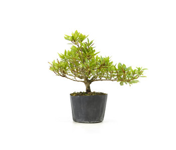 Japanse azalea (Hi no Maru), 13,8 cm, ± 8 jaar oud
