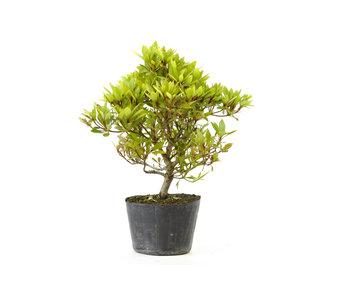 Azalea japonesa (Hola no Maru), 14 cm, ± 8 años