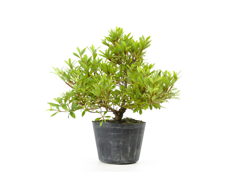 Japanse azalea (Hi no Maru), 14,1 cm, ± 8 jaar oud
