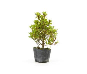 Azalea japonesa (Hola no Maru), 14,2 cm, ± 8 años