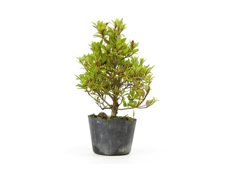 Japanse azalea (Hi no Maru), 14,2 cm, ± 8 jaar oud